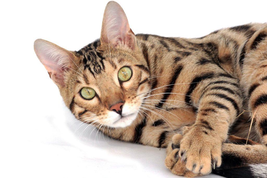Försäkrad bengal kattunge