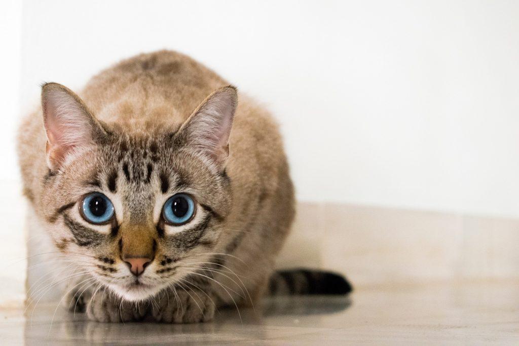 Busig kattunge