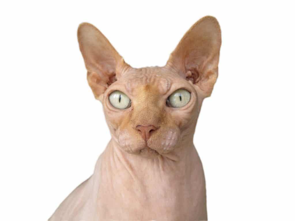 Sphynx kattunge