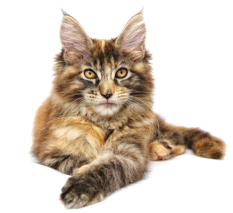 Jämför kattförsäkring sidhuvud